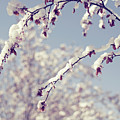 Snow On Spring Blossom Branches by Bonita Cooke