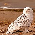 Snow Owl by Earl Nelson