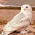 Snow Owl3 by Earl Nelson