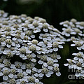 Snow Sport Yarrow by Susan Herber
