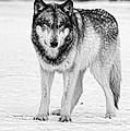 Snow Wolf by Shari Jardina