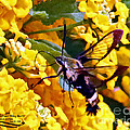 Snowberry Clearwing Hummingbird Moth by Rebecca Morgan