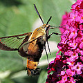 Snowberry Clearwing Moth by Doris Potter