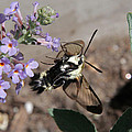 Snowberry Clearwing Moth Feeding by Doris Potter