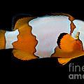 Snowflake Clownfish by Dant� Fenolio