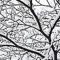 Snowy Branch by Elena Elisseeva