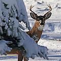 Snowy Buck by Lloyd Alexander