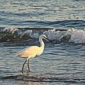 Snowy Egret - Egretta Thula by Mother Nature