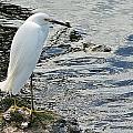Snowy Egret 2 by Joe Faherty