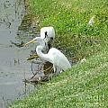 Snowy Egret by Debbie Wassmann