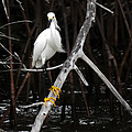 Snowy Egret - Egretta Thula by Jonathan Whichard