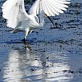 Snowy Egret Fishing by Bill Dodsworth