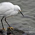 Snowy Egret by Gwyn Newcombe