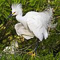 Snowy Egret In Breeding Plumage by Bill Swindaman