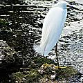 Snowy Egret by Joe Faherty