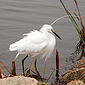 Snowy Egret by Kay Lovingood