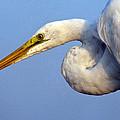 Snowy Egret Ready by Darleen Stry