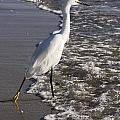 Snowy Egret Walking by Sally Weigand