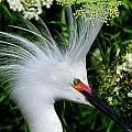 Snowy Egret With Breeding Plumage by Bill Dodsworth