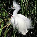 Snowy Egrets Plumage by Bill Dodsworth