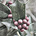 Snowy Holly Christmas Card by Jim And Emily Bush