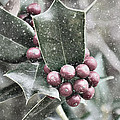 Snowy Holly by Jim And Emily Bush