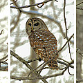 Snowy Morning Owl Triptic - 10dec563a by Paul Lyndon Phillips