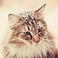 Snowy Norwegian Forest Cat by Emely Nilsson
