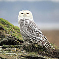 Snowy Owl At Boundary Bay Vancouver by Pierre Leclerc Photography