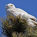 Snowy Owl High Perch by Lloyd Alexander