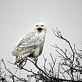 Snowy Owl In A Tree by Pierre Leclerc Photography