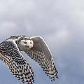 Snowy Owl In Flight by Ian Stotesbury