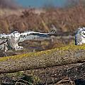 Snowy Owl Landing by Terry Dadswell