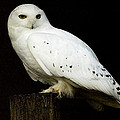 Snowy Owl by Paul McGowan