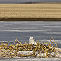 Snowy Owl Perched Frozenpond by Mark Duffy