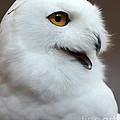 Snowy Owl Portrait by Lloyd Alexander
