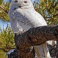 Snowy Owl Resting by Lloyd Alexander