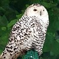 Snowy Owl by Travis Abe-Thomas