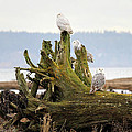 Snowy Owls by Pierre Leclerc Photography