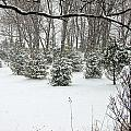 Snowy Pines by Aimee L Maher ALM GALLERY