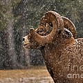 Snowy Ram by James Anderson