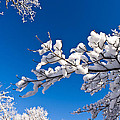 Snowy Trees And Blue Sky by Lori Coleman