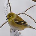 Snowy Yellow Finch by LeeAnn McLaneGoetz McLaneGoetzStudioLLCcom