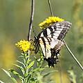 So Fragile - Butterfly by Travis Truelove