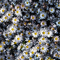 So Many Daisies by Bill Cannon
