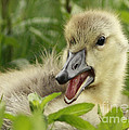 So Much To Say So Little Time For A Gosling by Inspired Nature Photography Fine Art Photography