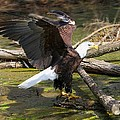 Soaring Eagle by Elizabeth Winter