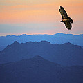 Soaring Red Tailed Hawk At Sunset by Randall Nyhof