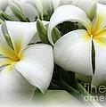 Soft And Delicate Plumeria by Sabrina L Ryan