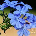 Soft Blue Plumbago  by Sabrina L Ryan